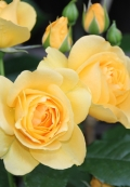Julia Child has buttery gold blooms and a licorice clove fragrance