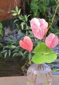 Anthuriums in a blush pink glass vase