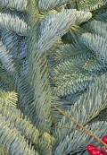Noble fir boughs by the pound