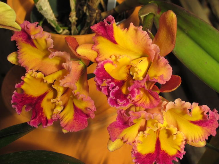Cattleya Orchid Plant Boulder CO