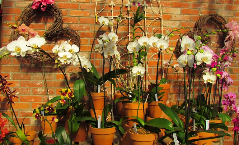 White Phalaenopsis Orchids Boulder Colorado