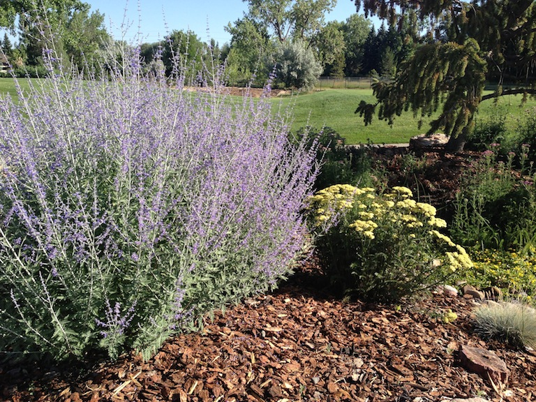 Russian Sage in the Xeriscape Garden