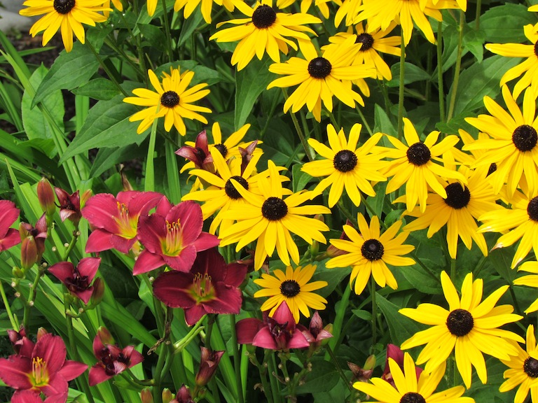 Day Lilies and Black Eyed Susans