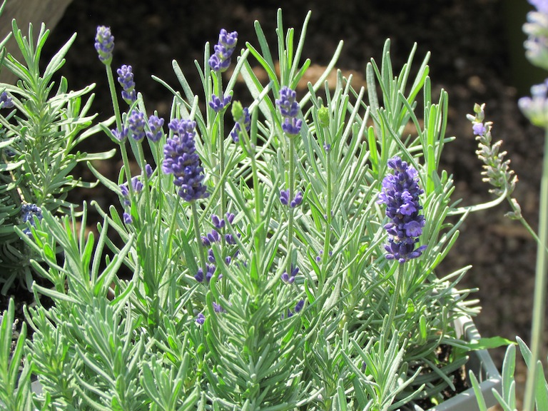 Sweet scented lavender