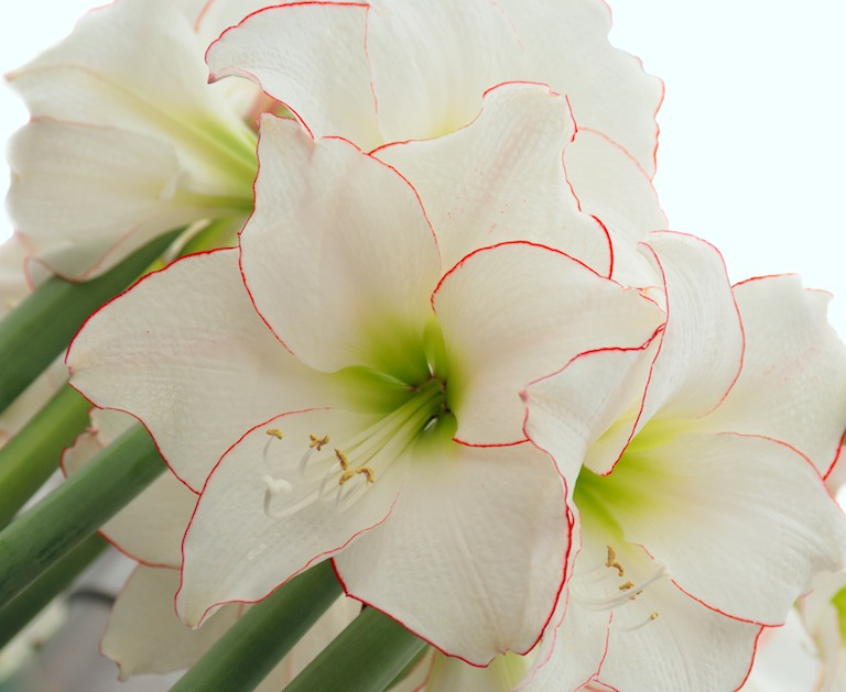 White Amaryllis with Red Border at Sturtz and Copeland in Boulder, CO