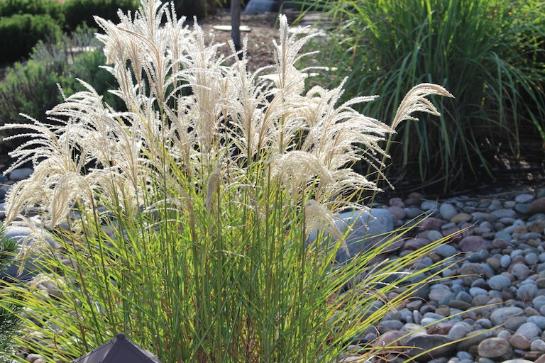 Perennial and annual ornamental grasses for Ornamental grass with purple plumes