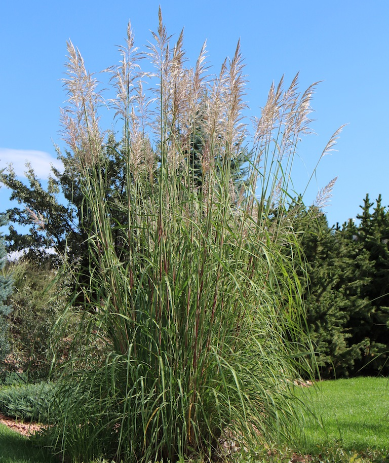 Perennial and annual ornamental grasses for 6 foot tall ornamental grass