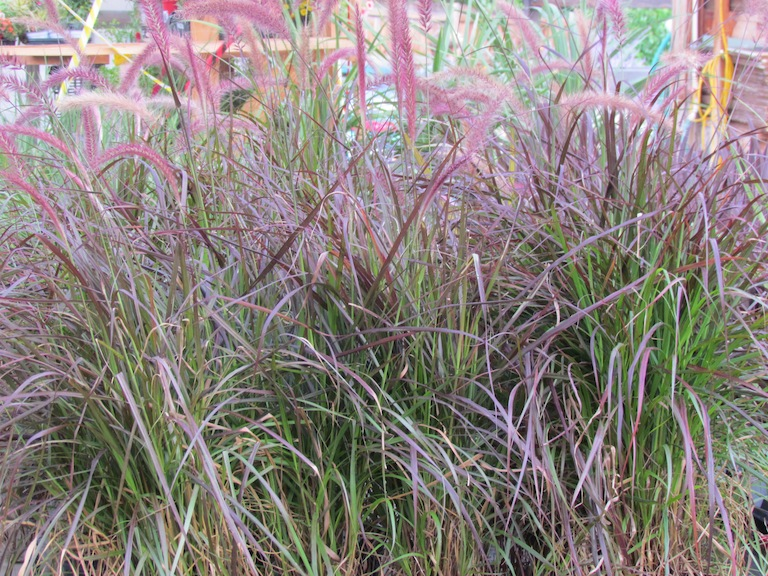 Perennial and annual ornamental grasses for Red perennial grass