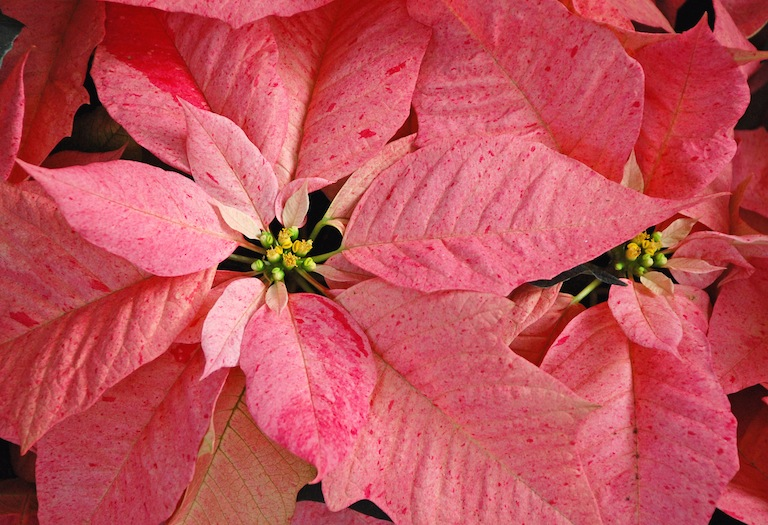 Pink speckled poinsettia