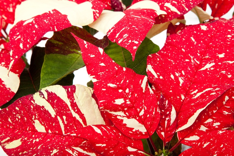 Poinsettia Jingle Bells