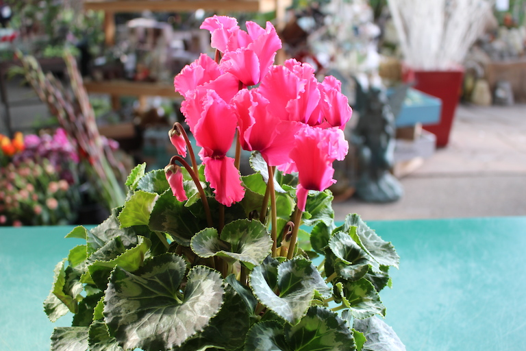 Cyclamen with heart shaped leaves for valentines day anthurium cyclamen with heart shaped leaves for valentines day anthurium with heart shaped flowers for valentines day easy blooming phalaeonopsis orchids for mightylinksfo