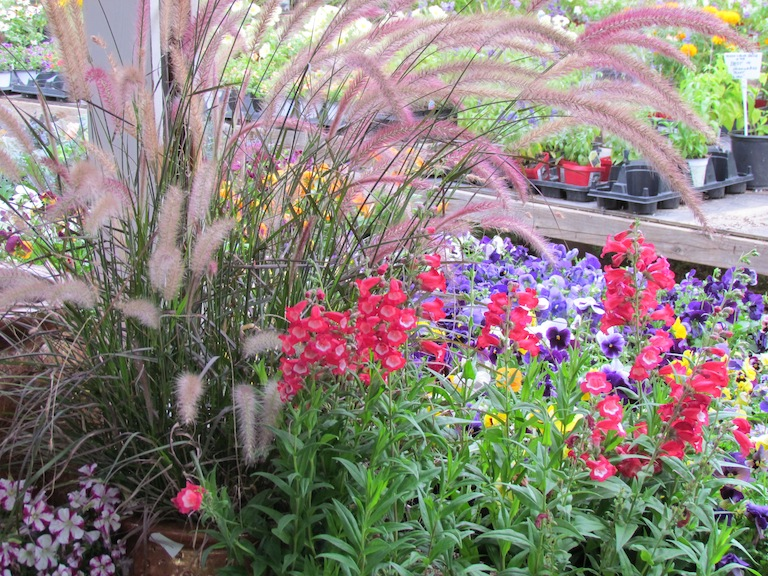 Ornamental Grasses Colorado How to plant a sustainable garden in boulder colorado using annual ornamental grasses 9 17 workwithnaturefo