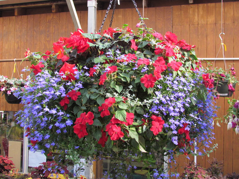 Impatiens and Lobelia Moss Basket