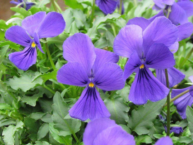 Corsica Violets to Plant Over the Bulb Bed