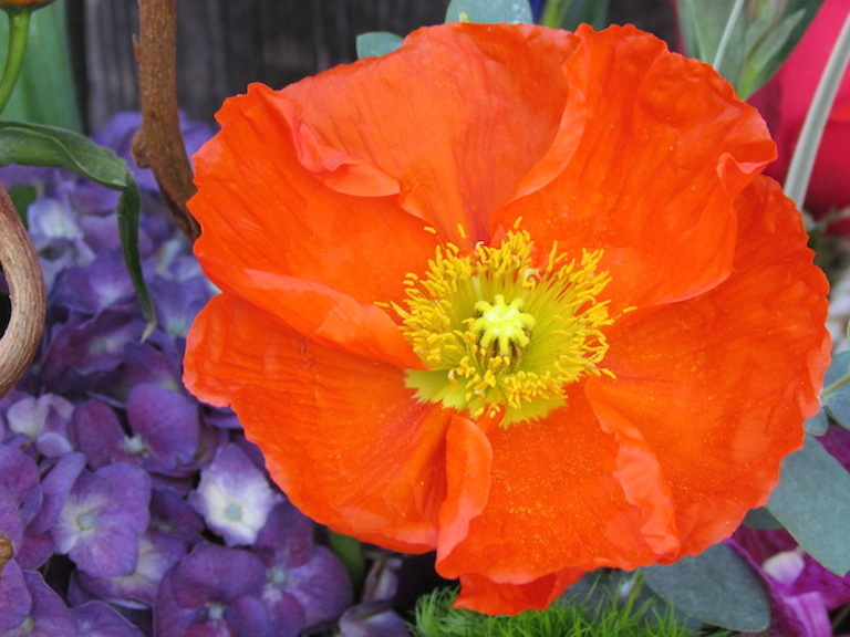 Icelandic Poppy in Sturtz and Copeland's Garden Center