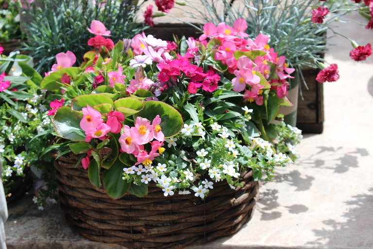 Summer Wax Flower Begonia Basket