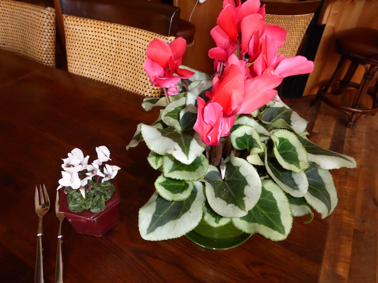 Miniature and regular sized cyclamens