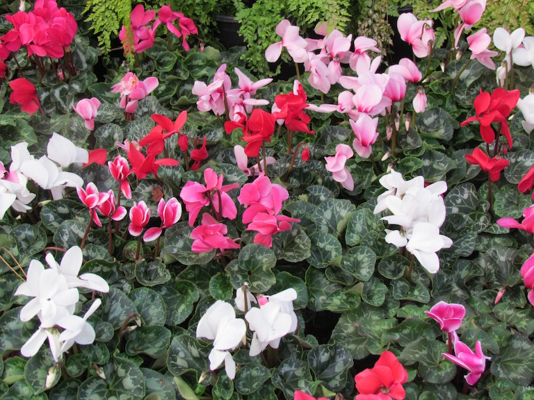 Pink, white, red and bicolor cyclamen