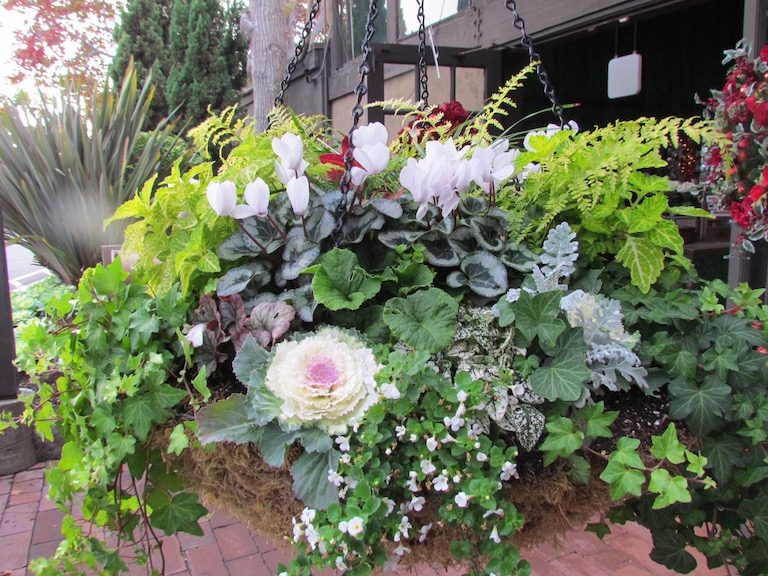 Outdoor Moss Hanging Basket with White Cyclamen and Ornamental Kale