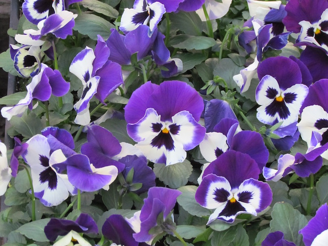 Pansies for your Easter baskets