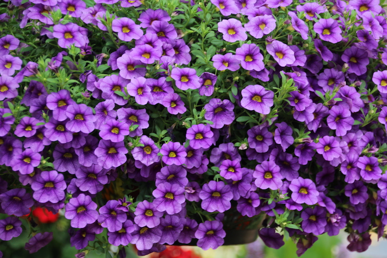 Calibrachoa Superbells Basket