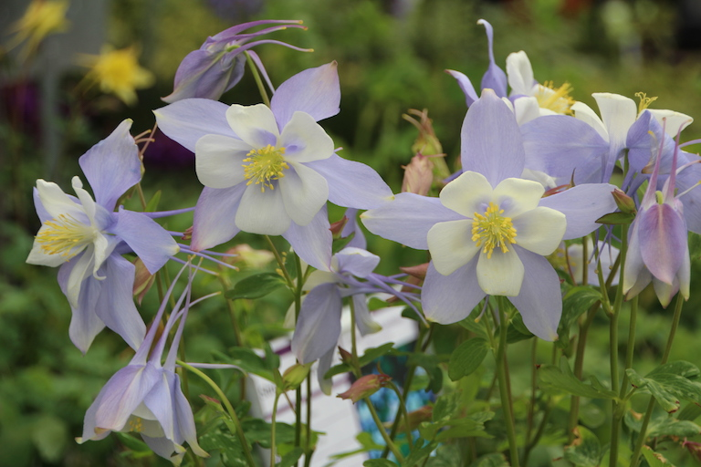 Perennial Blue Columbine for the Garden