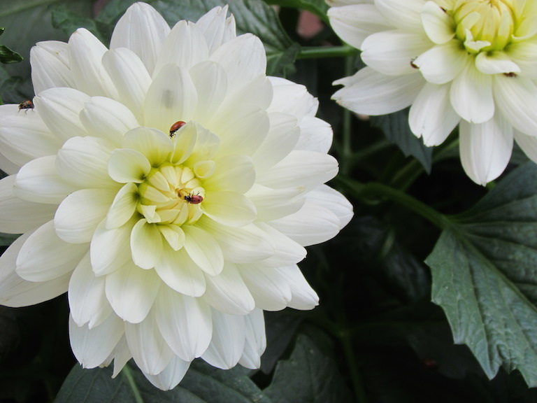 White dahlia with a friendly ladybug