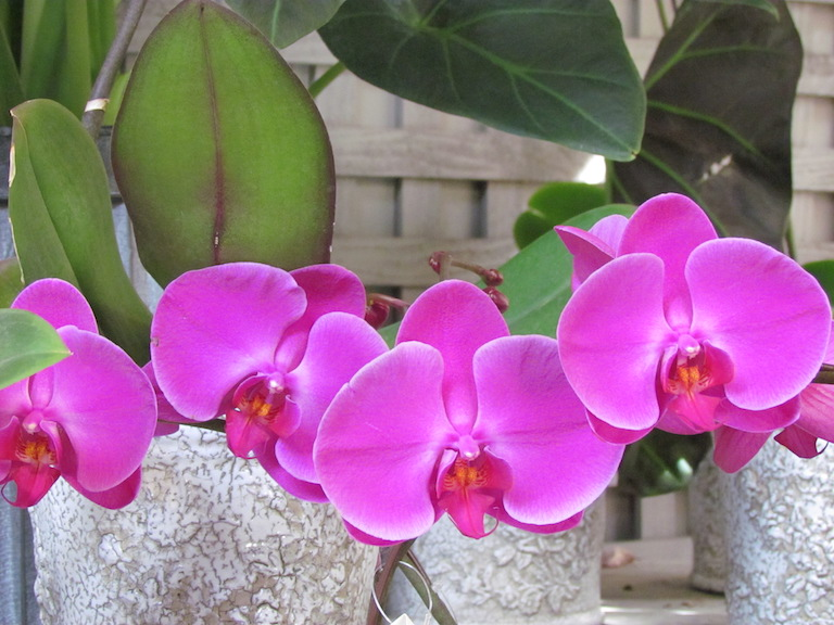 Easy to care for moth orchid
