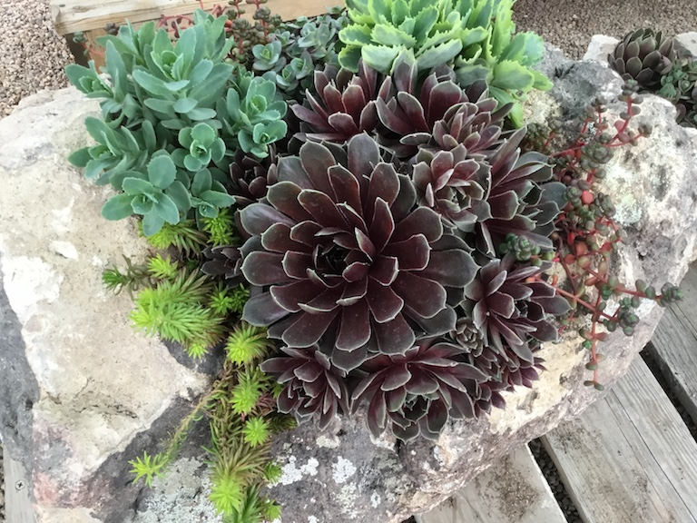 Succulents in a rock planter