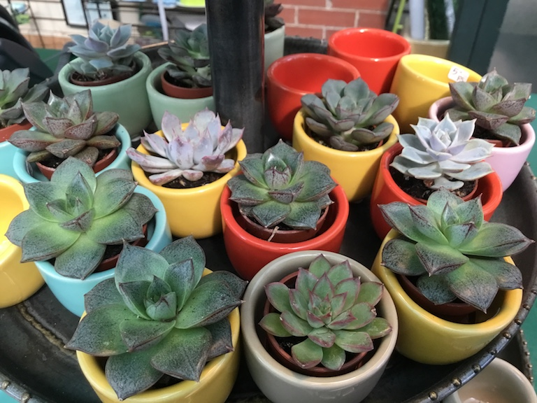Succulents in tiny pots