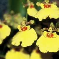 Oncidium Orchids