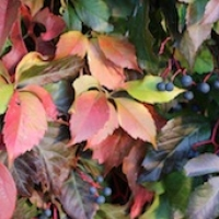 Virginia Creeper  :  Parthenocissus quinquefolia