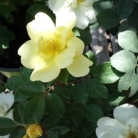 Yellow Knock Out Rose