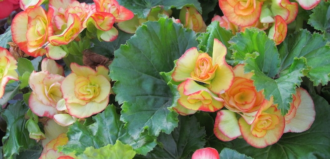 Begonia plants at Sturtz and Copeland