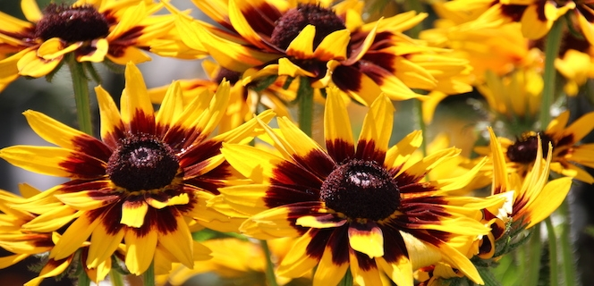 Rudbeckia in the Garden Center of Sturtz and Copeland